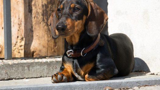 teckel - chien de race